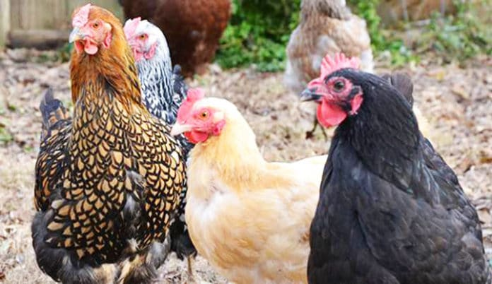 7 repellenti naturali per tenere lontane le galline senza recinzioni | Tuttosullegalline.it