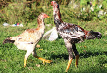 Combattente Malese razza di gallina ornamentale | Tuttosullegalline.it