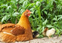 Gallina: caratteristiche dell'animale e differenza tra pollo e gallo | Tuttosullegalline.it