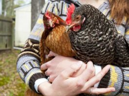 Gallina, animale domestico e da compagnia | Tuttosullegalline.it