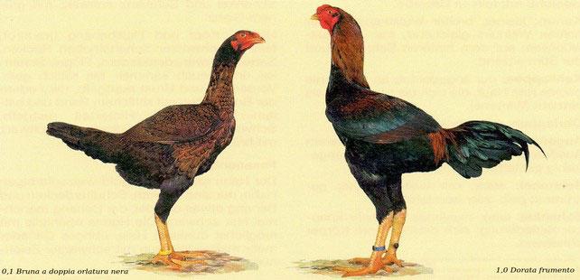 Gallina e Gallo di razza Combattente Malese nello standard FIAV