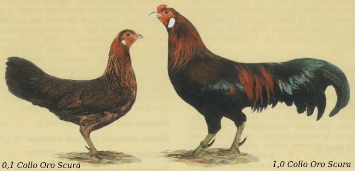 Gallina e gallo razza Giavanese nello standard FIAV