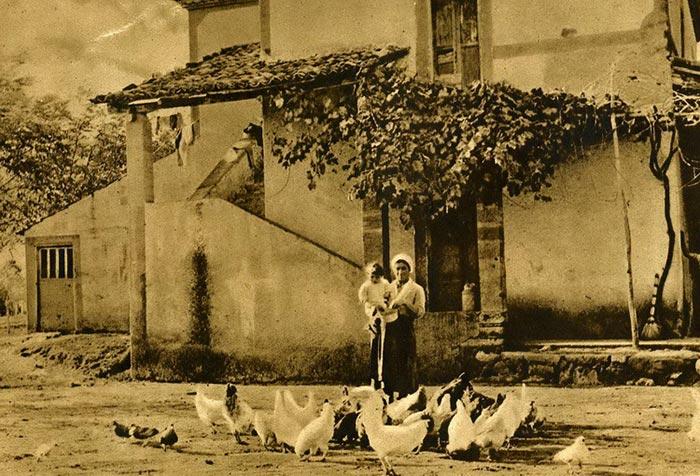 Pollaio con gallo (livornese) miglioratore in primo piano