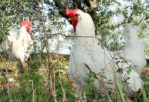 Valdarnese bianca: discreta gallina ovaiola italiana | Tuttosullegalline.it