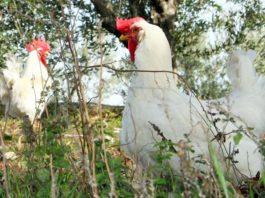 Valdarnese bianca: discreta gallina ovaiola italiana   Tuttosullegalline.it