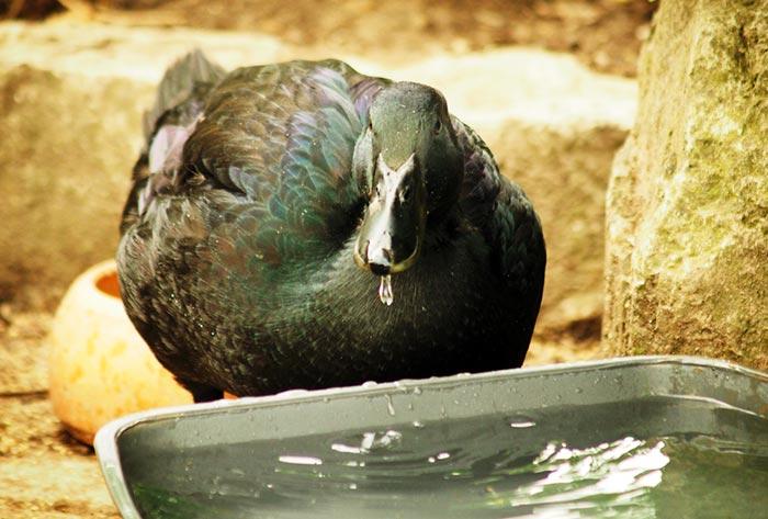Anatre sporcano molto acqua degli abbeveratoi nel pollaio