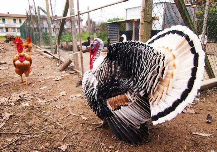 Biodiversità nel pollaio: come allevare insieme differenti specie avicole | Tuttosullegalline.it