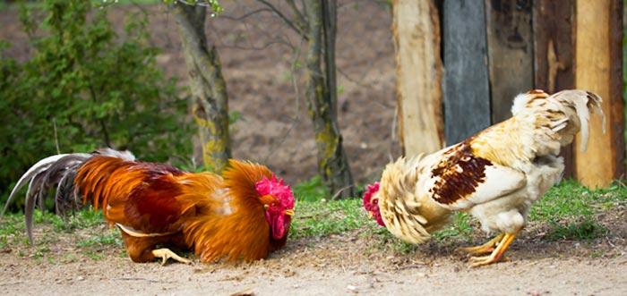 Confronto tra galli per stabilire l'ordine di beccata