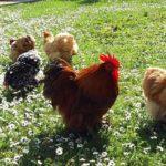 Il Pollaio di Silvano | Allevamento amatoriale galline ornamentali