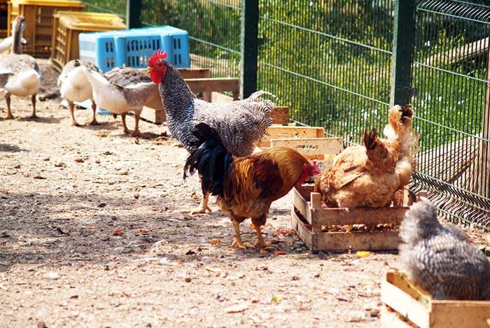 Mangiatoie separate per avicoli diversi nel pollaio