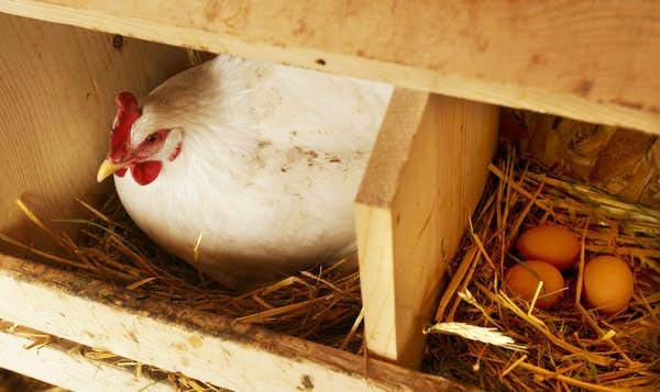 Gallina dominante sceglie il proprio nido nel ricovero