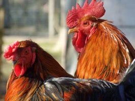Ordine di beccata (la gerarchia nel pollaio): cos'è e come funziona | Tuttosullegalline.it