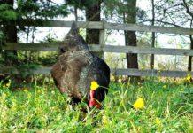 Quanto vive una gallina? E quante uova fa? Ecco le risposte (con le giuste precisazioni) | Tuttosullegalline.it