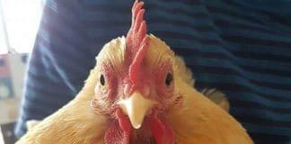 Brucie, la gallina fa ritorno in famiglia dopo una settimana di ricerche | Tuttosullegalline.it