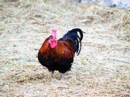 Come fare la lettiera permanente nel pollaio per la salute delle galline | Tuttosullegalline.it