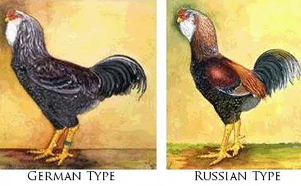 Il diverso standard russo e tedesco della razza Orloff