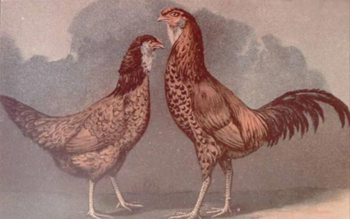 Gallo e gallina dell'antica razza di Gilan (Album of Husbandry Puoltry Breeds; 1905)