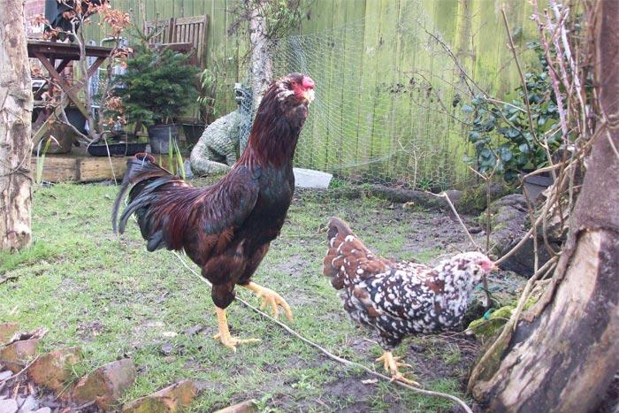 Gallo Orloff mogano e gallina Orloff tricolore bantam