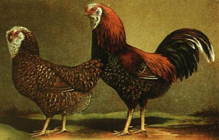 Gallo e gallina di razza Orloff spangled-picchiettato (Album of Husbandry Puoltry Breeds; 1905)