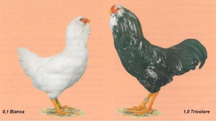 La razza avicola Orloff nello standard FIAV