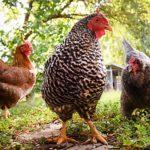Quanto costa una gallina (e dove acquistarla) | Tuttosullegalline.it