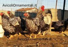 AvicoliOrnamentali.it | Allevamento galline ornamentali e ovaiole, Forlì, Emilia Romagna