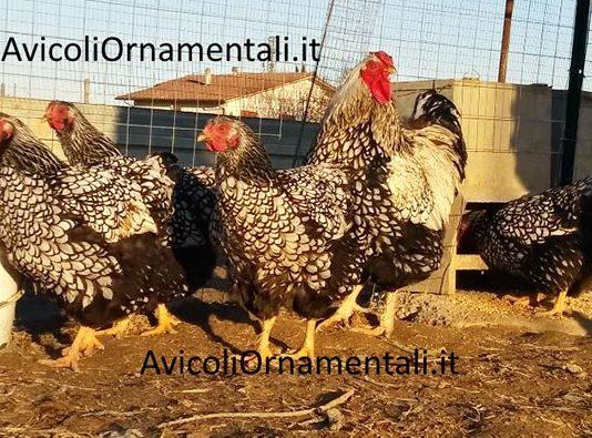 AvicoliOrnamentali.it   Allevamento galline ornamentali e ovaiole, Forlì, Emilia Romagna
