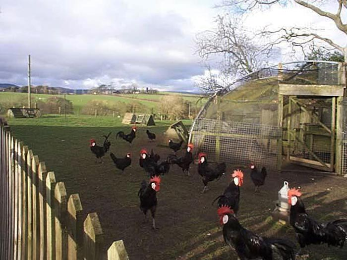 Galli e galline Minorca al pascolo