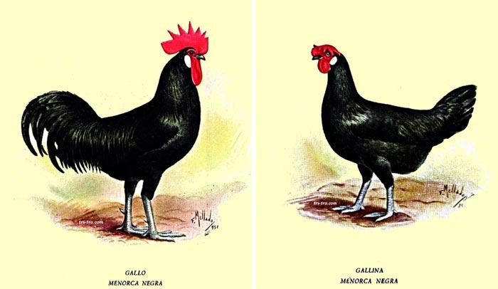 Gallo e gallina Minorca (colorazione nera)