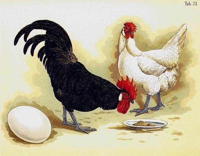 Gallina, gallo e uovo bianco di Minorca (Bungartz - 1891)