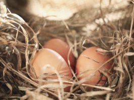 Nido per galline: come realizzarlo al meglio per non avere problemi | Tuttosullegalline.it