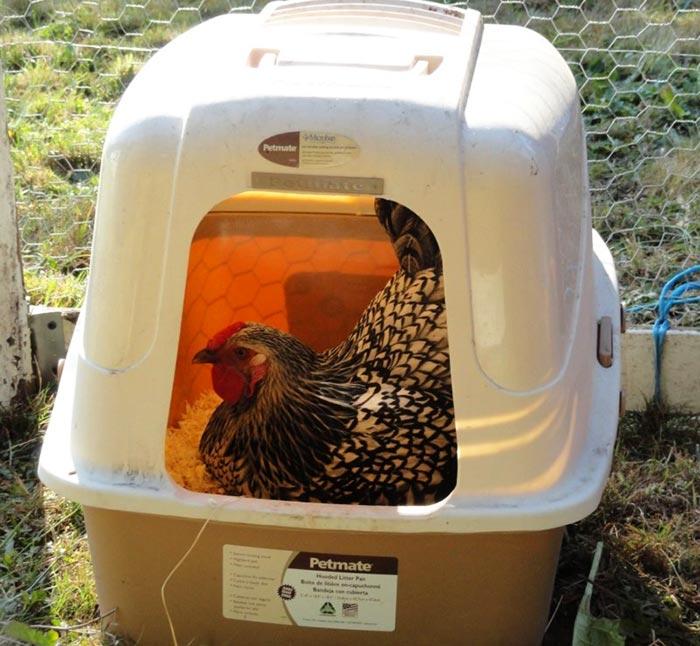 Nido per galline realizzato all'interno di una trasportina