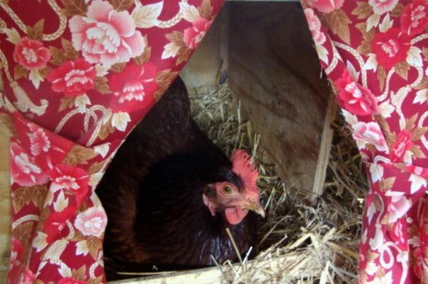 Nido singolo per gallina che depone