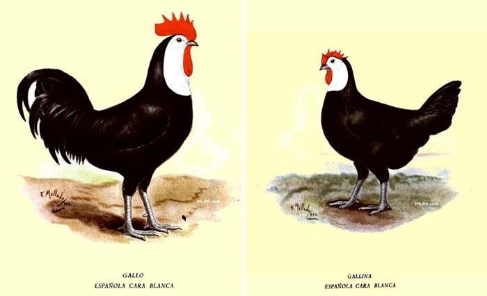 Gallo e gallina di razza Spagnola faccia bianca
