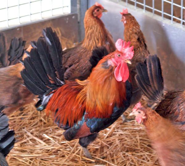 Allevamento di selezione razze avicole riproduttori in recinti separati