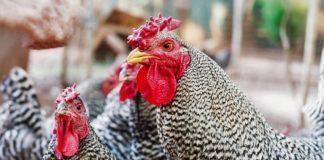 Cresta di galli e galline: tipologie, utilità e spia della salute dell'animale | Tuttosullegalline.it