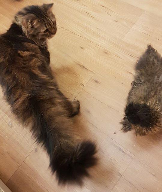 gallina Luisa McNugget con il gatto Meolo