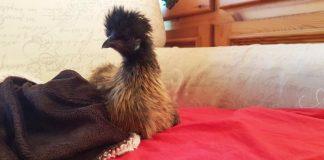 Luisa McNugget, la gallina che racconta la sua esperienza di vita con gli umani | Tuttosullegalline.it