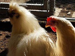 Pollaio in giardino: il sogno di allevare galline domestiche diventa realtà!   Tuttosullegalline.it
