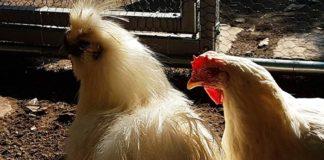 Pollaio in giardino: il sogno di allevare galline domestiche diventa realtà! | Tuttosullegalline.it