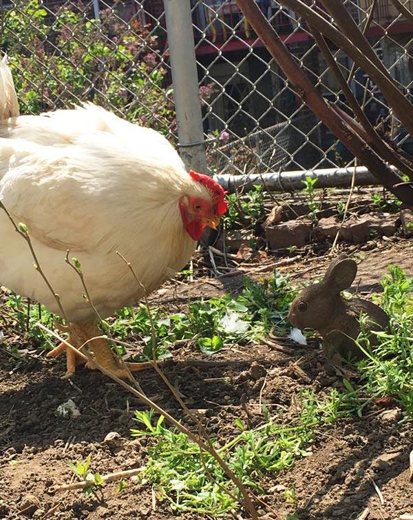 La gallina Penelope in giardino