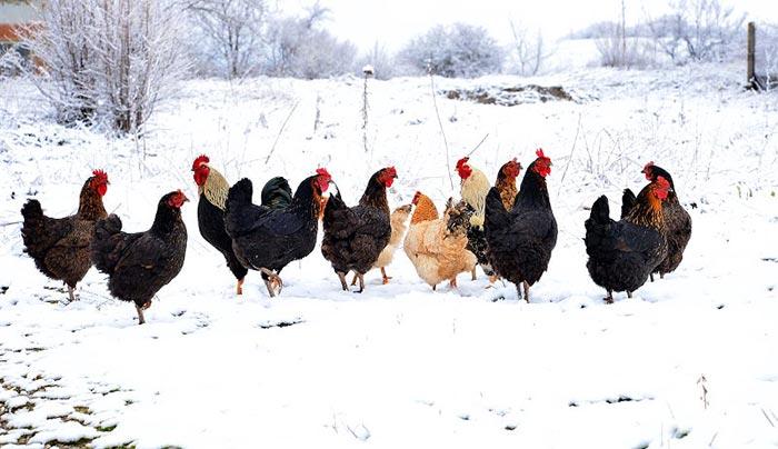 Galline non depongono uova in inverno (poche ore di luce)
