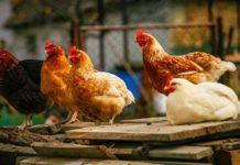 Galline non fanno le uova? Ecco perché e cosa possiamo fare | Tuttosullegalline.it