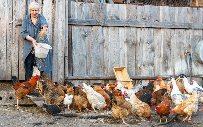 Galline non fanno le uova se l'alimentazione è sbagliata
