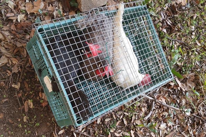 Le abitanti della casa delle galline livornesi in arrivo nella trasportina e pronte per essere messe nel pollaio.