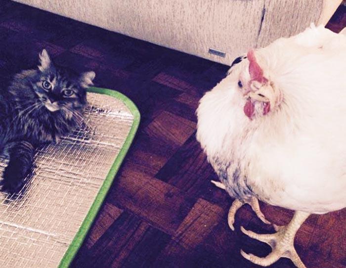 La gallina Penelope in compagnia del gatto Farrah
