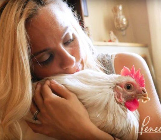 Penelope, storia di una gallina salvata dal rituale religioso che l'avrebbe uccisa | Tuttosullegalline.it