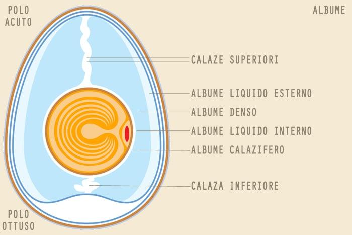 Albume d'uovo, ecco da cosa è composto