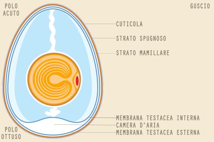 Guscio dell'uovo, da cosa è composto