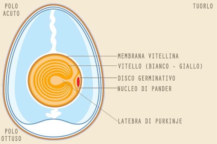 Rappresentazione schematica delle sotto-parti che compongono il tuorlo dell'uovo